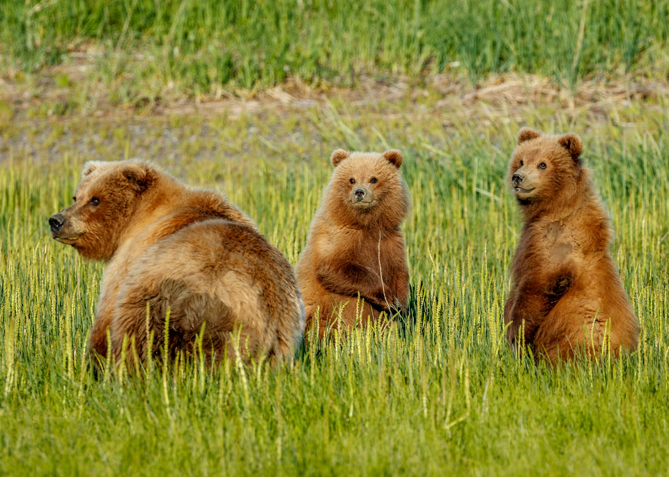 Brown bear sow and cubs in grass along the coast in Lake Clark National Park. Summer.  Western Alaska  Photo by Jeff Schultz/SchultzPhoto.com  (C) 2018     ALL RIGHTS RESERVED