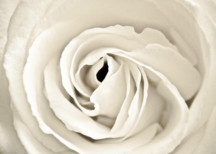 Cream Rose Photography Art | Visual Arts & Media Group Corporation