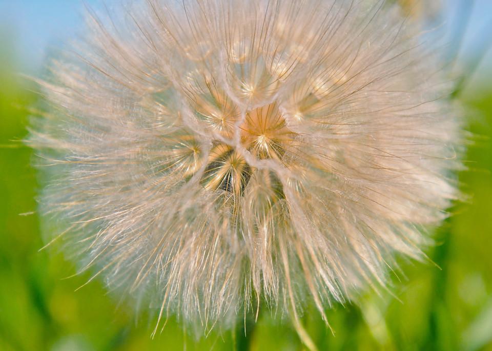 Dandelion Wishes  Photography Art | Visual Arts & Media Group Corporation