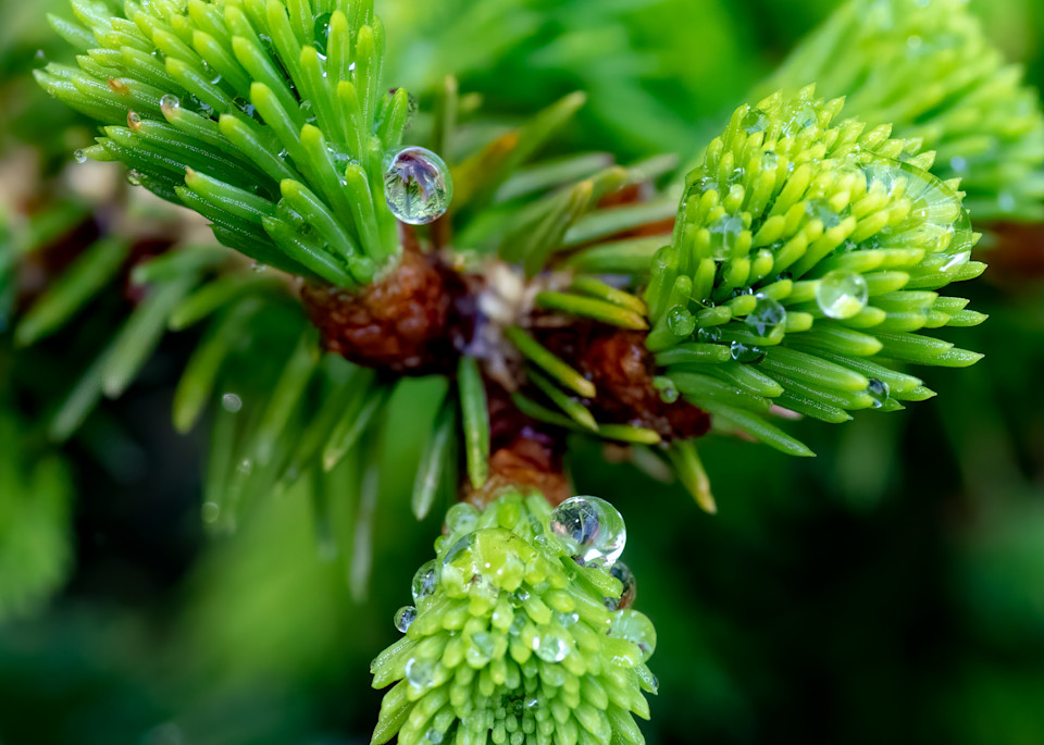 Evergreen Needles with Water Droplets - Square Crop