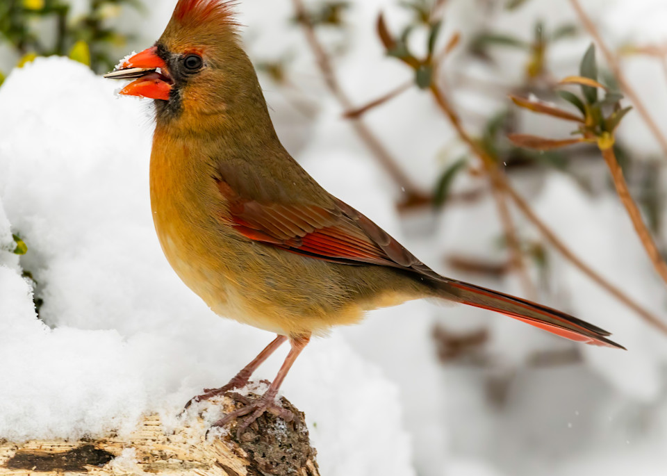 Female Cardinal in Snow with Nut - Square