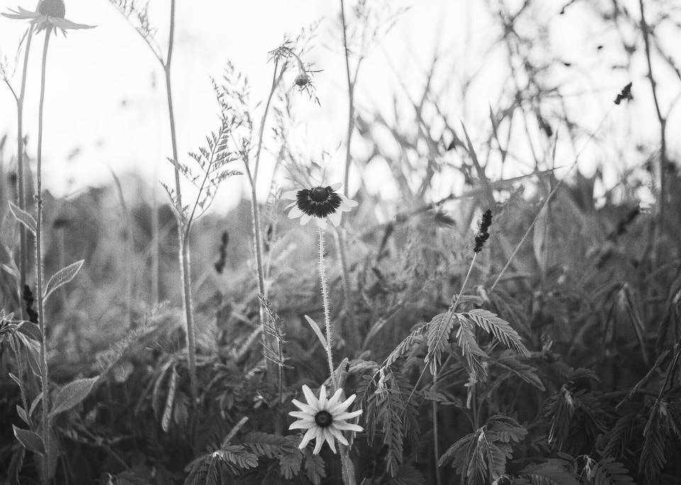 Virginia Daisy Photography Art | TERESA BERG PHOTOGRAPHY