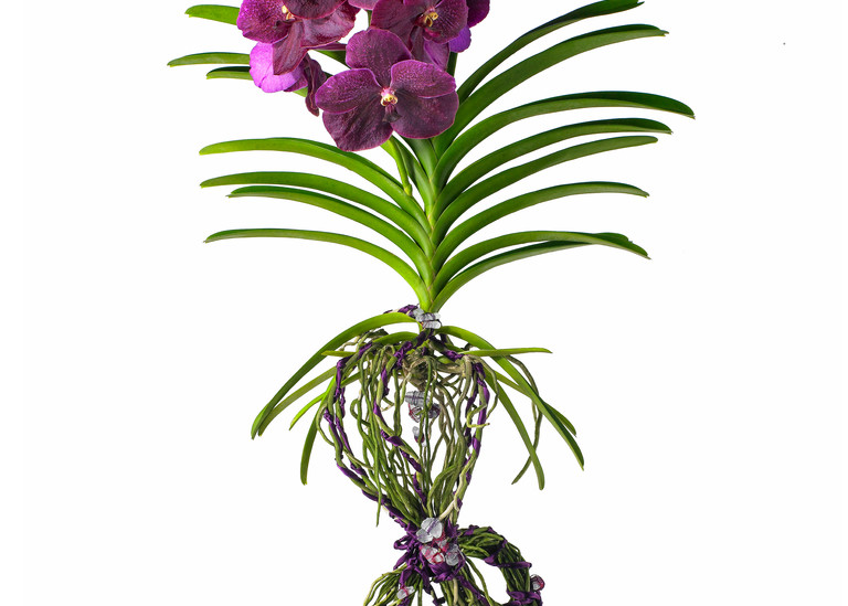 John E. Kelly Fine Art Photography – Tied Orchid - Floral Portraits