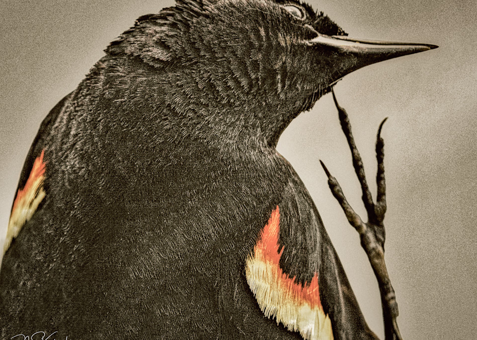 Scratching Red Wing. Art | Cutlass Bay Productions, LLC