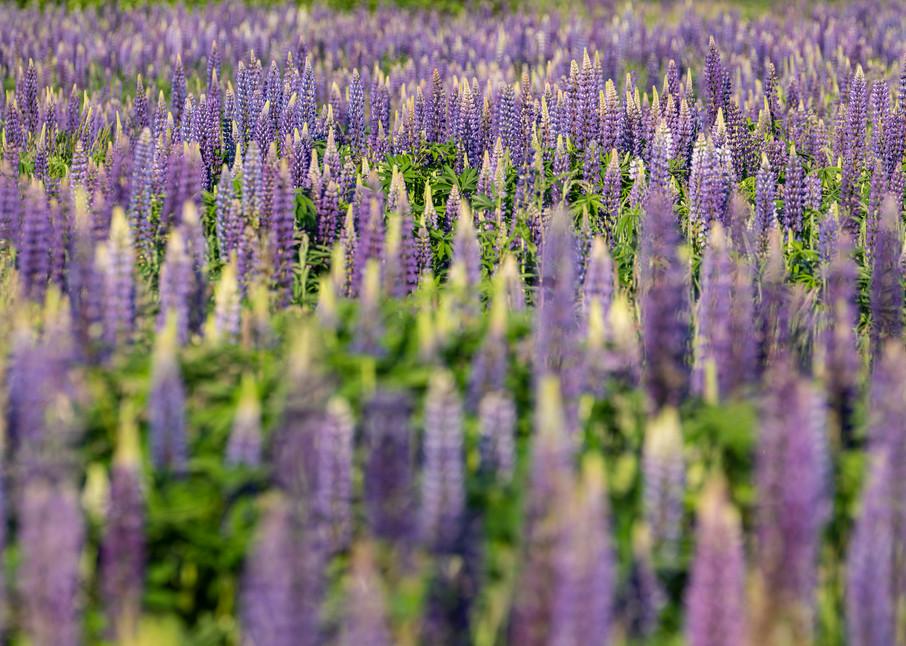 Lupine Fields Photography Art | Kit Noble Photography