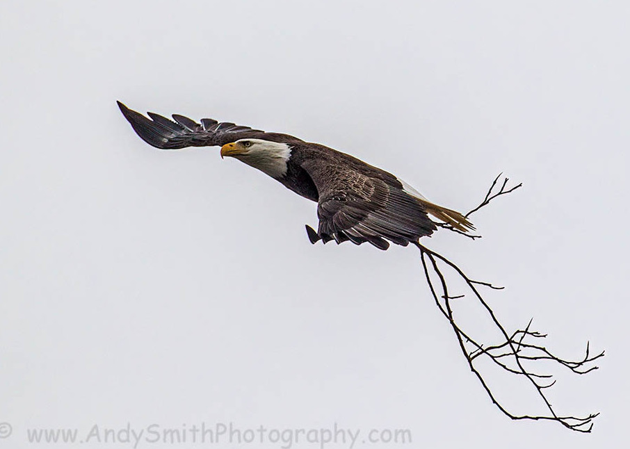 Bald Eagle Flyiing with Nesting Material