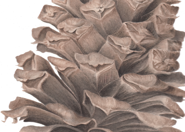Long Leaf Pine Cone Art | Joan Furlong | Vox Loci Studio