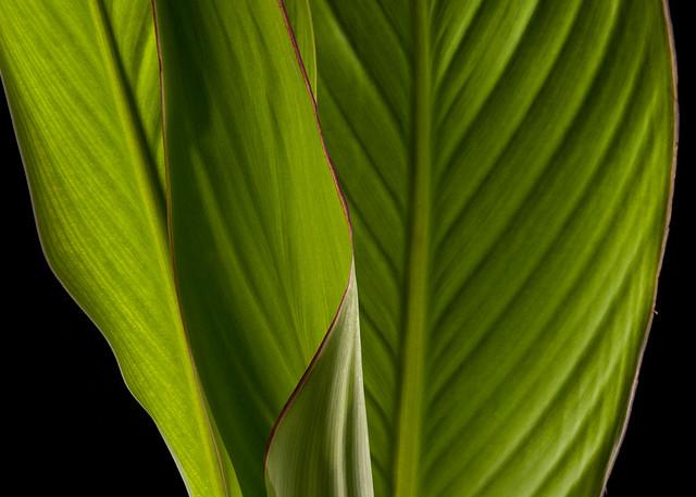 Canna Leaves Photography Art | Rick Gardner Photography