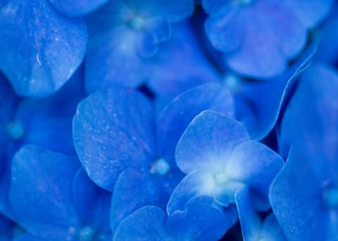 A Beautiful Blue Blossom Print