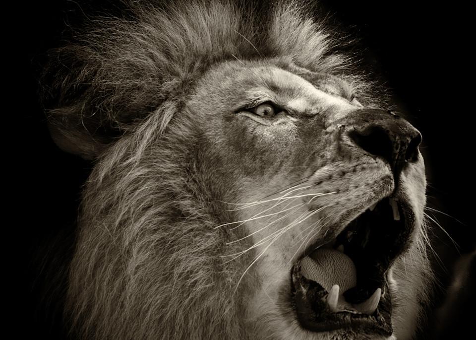 Roar of the Lion B&W