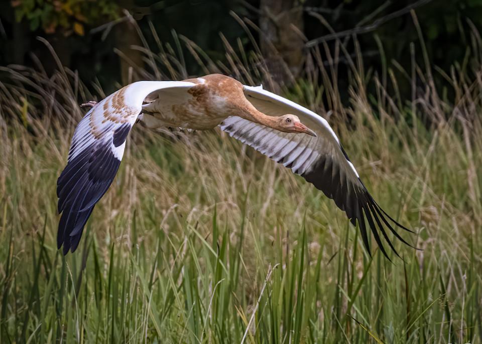 Juvenile Whooping Crane in Flight
