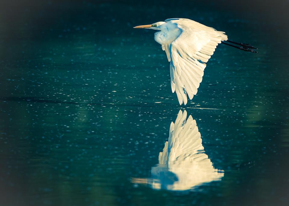 Great Egret Flying over Marsh