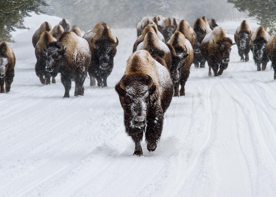Leading The Way, Yellowstone  Photography Art | Alina Marin-Bliach Photography/alinabstudios LLC