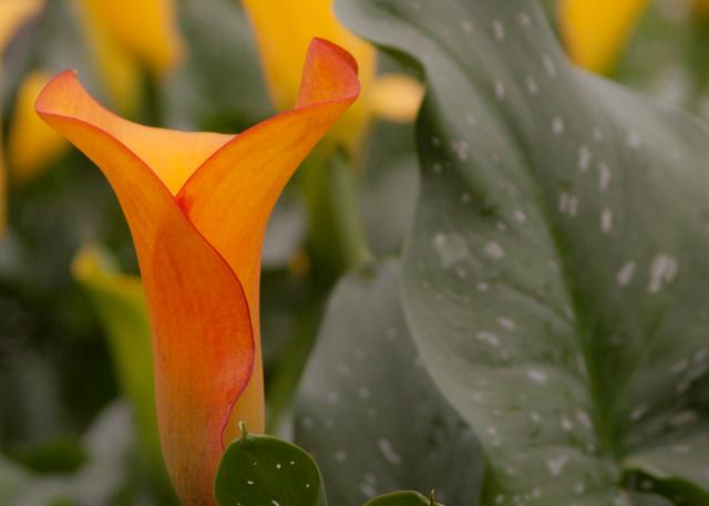 Lillies Photography Art   E. Morton Studios