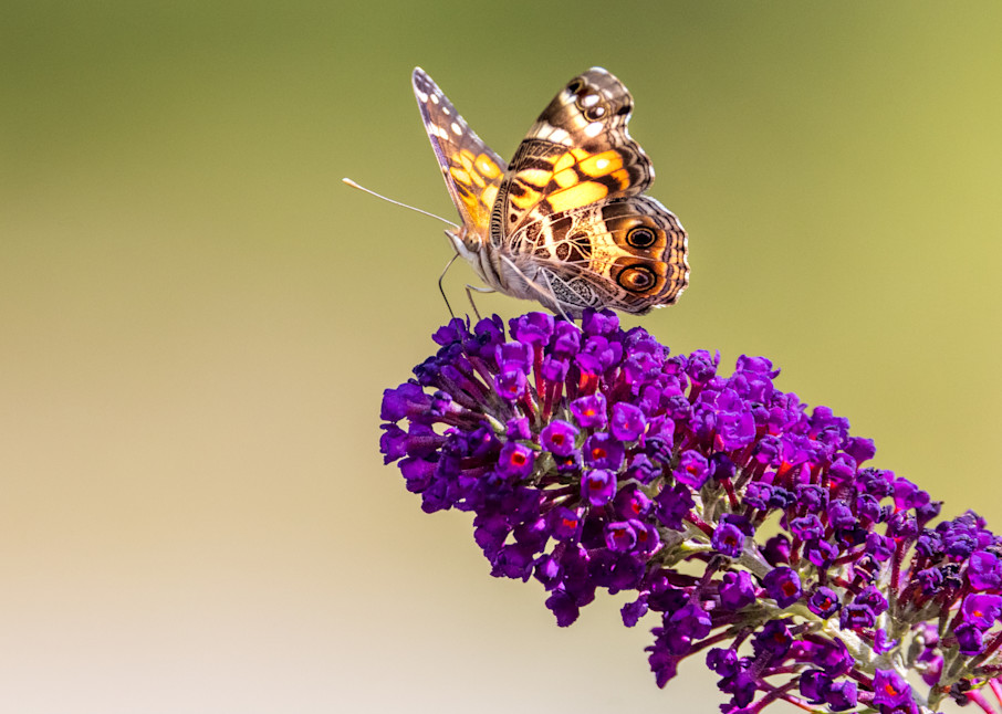 American Lady Butterfly Photography Art | Thomas Yackley Fine Art Photography