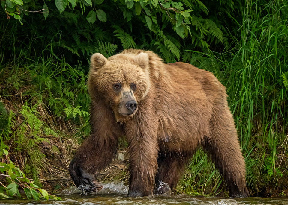 Scouting For Salmon Photography Art   Carol Brooks Parker Fine Art Photography