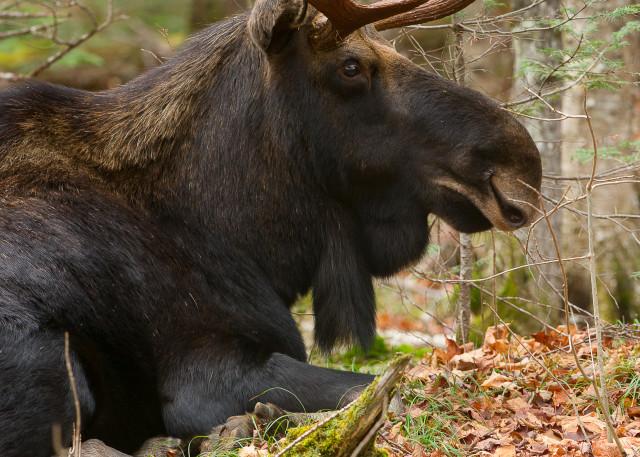 Bull Moose Laying Down Photography Art   http://www.mooseprintsgallery.com