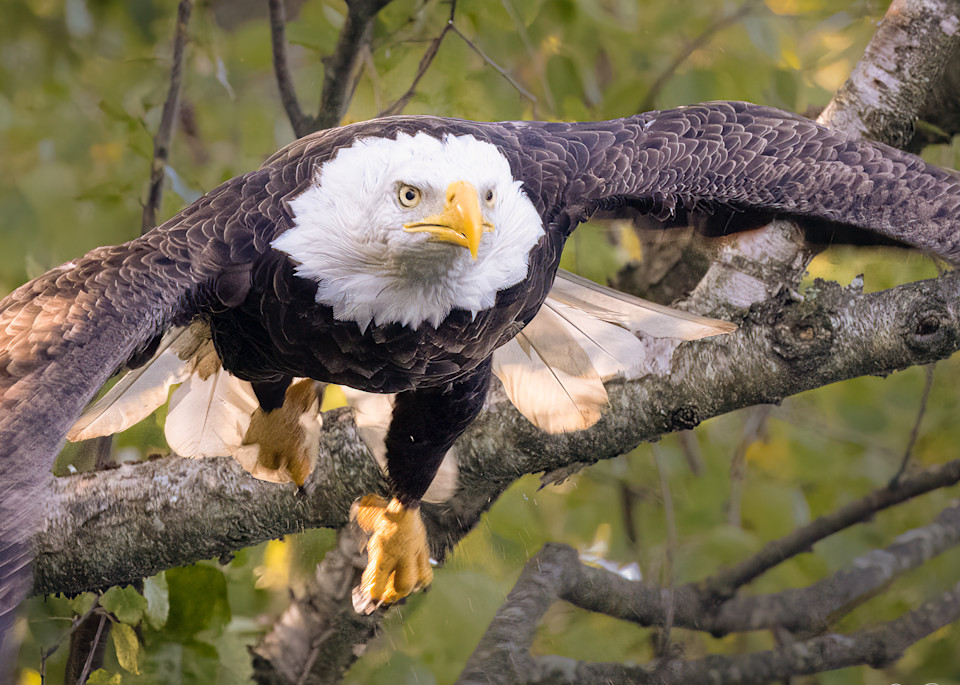Blad Eagle in a Mission