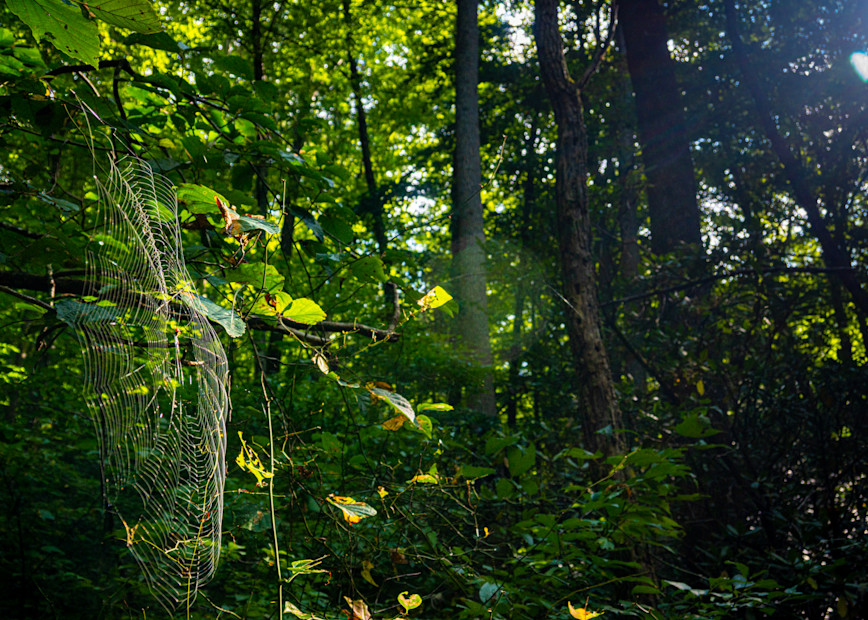 Shope Forest Web