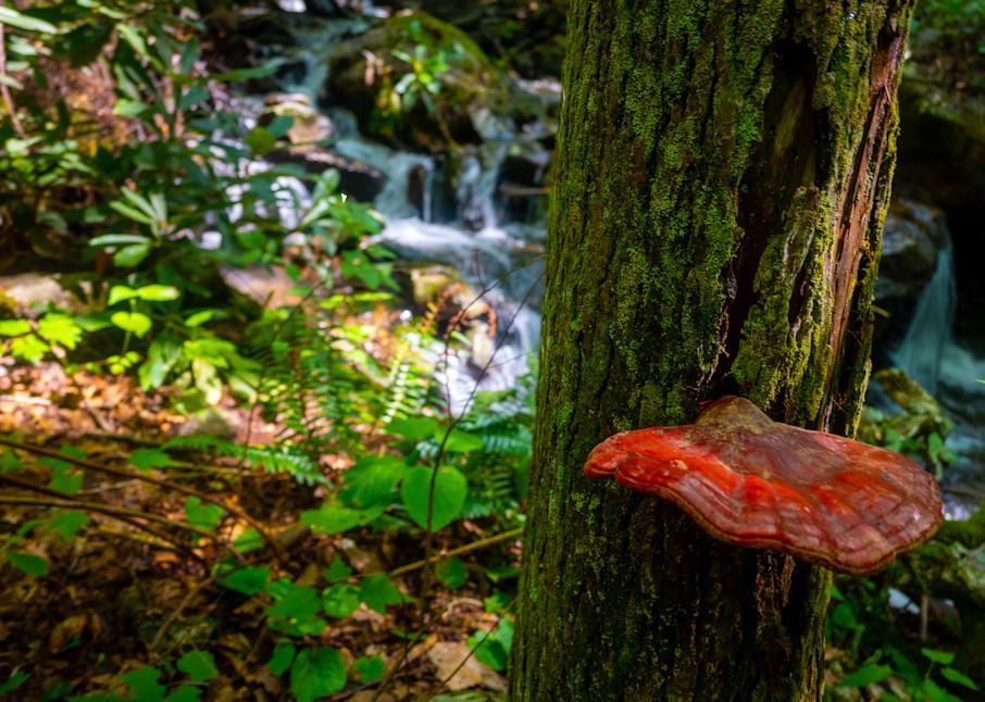 Red Shelf Fungus