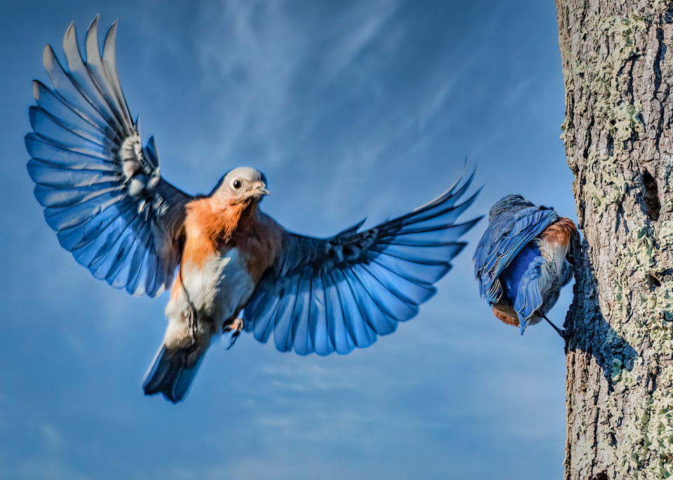 Eastern Bluebird with Wings Spread
