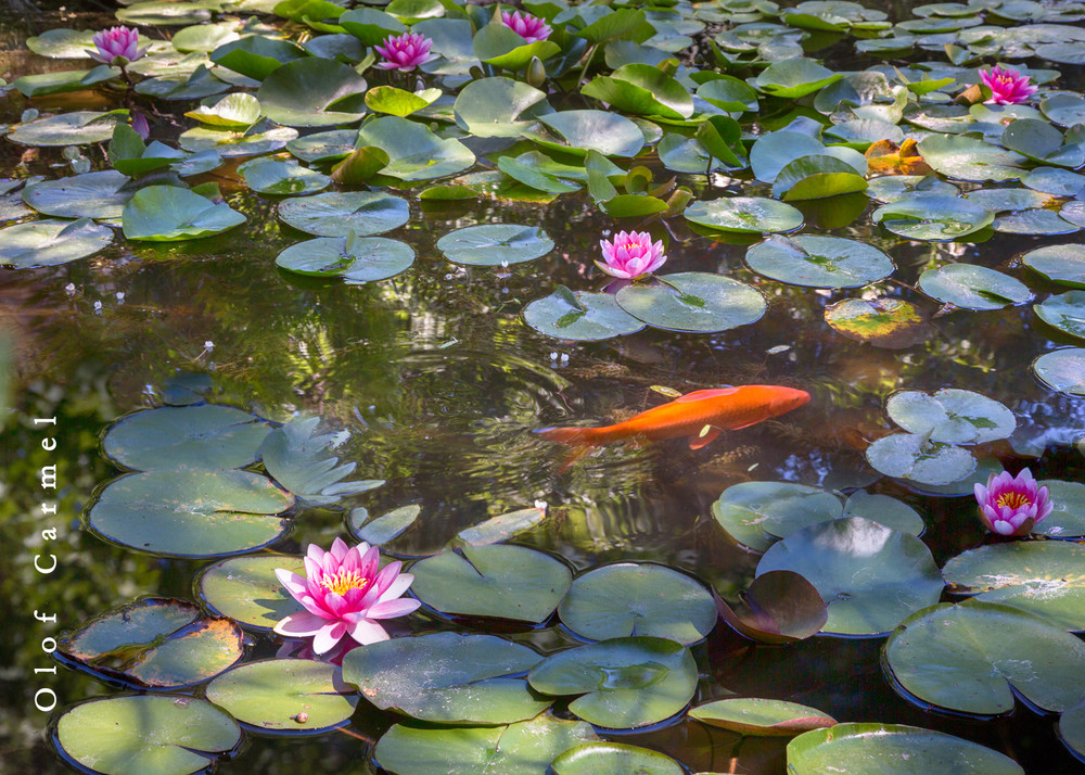 Waterlily Home Art | The Carmel Gallery