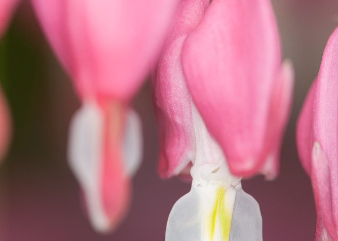 A pair of Bleeding Hearts photograph for sale as Fine Art