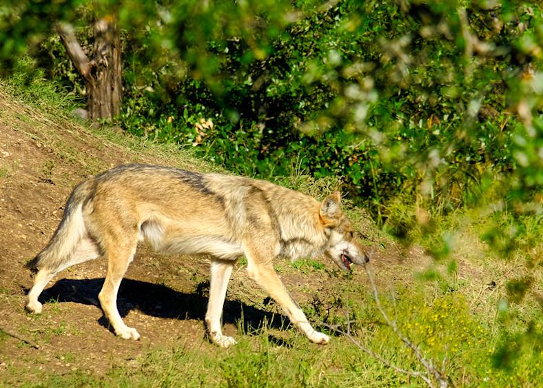 Grey Wolf Walking