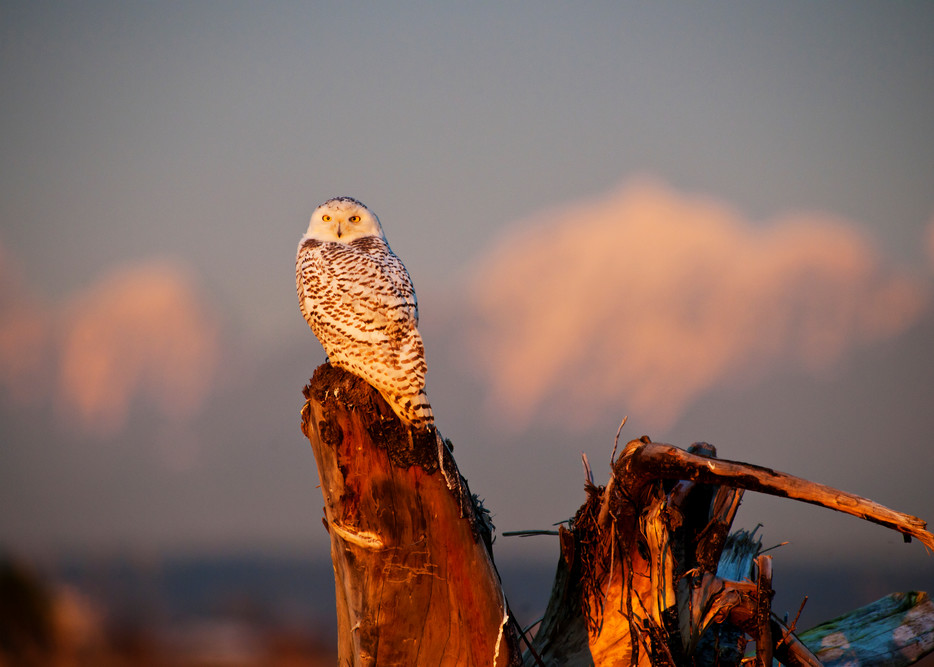Snowy Owl Sunset in Boundary Bay
