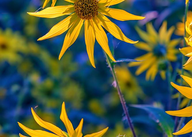 Sunflowers in Bloom by Rick Berk
