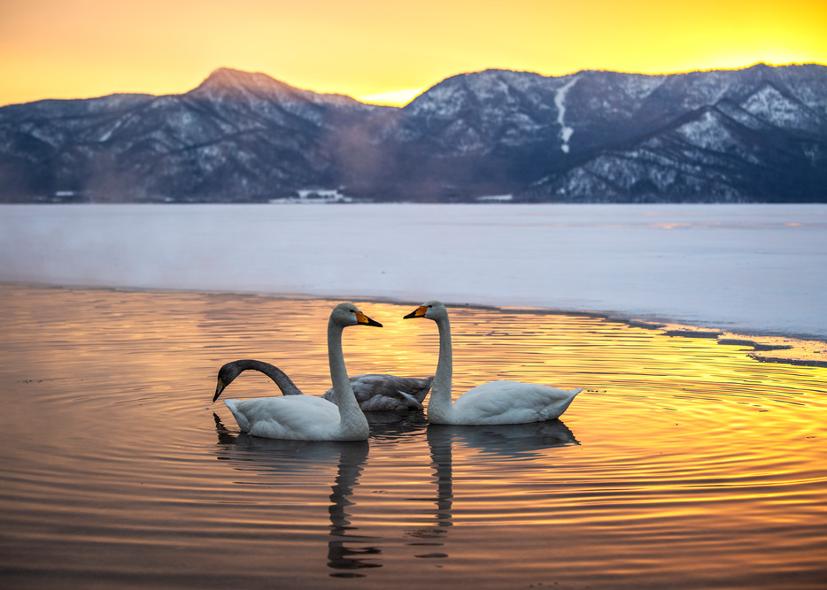 Swans in Kussharo lake