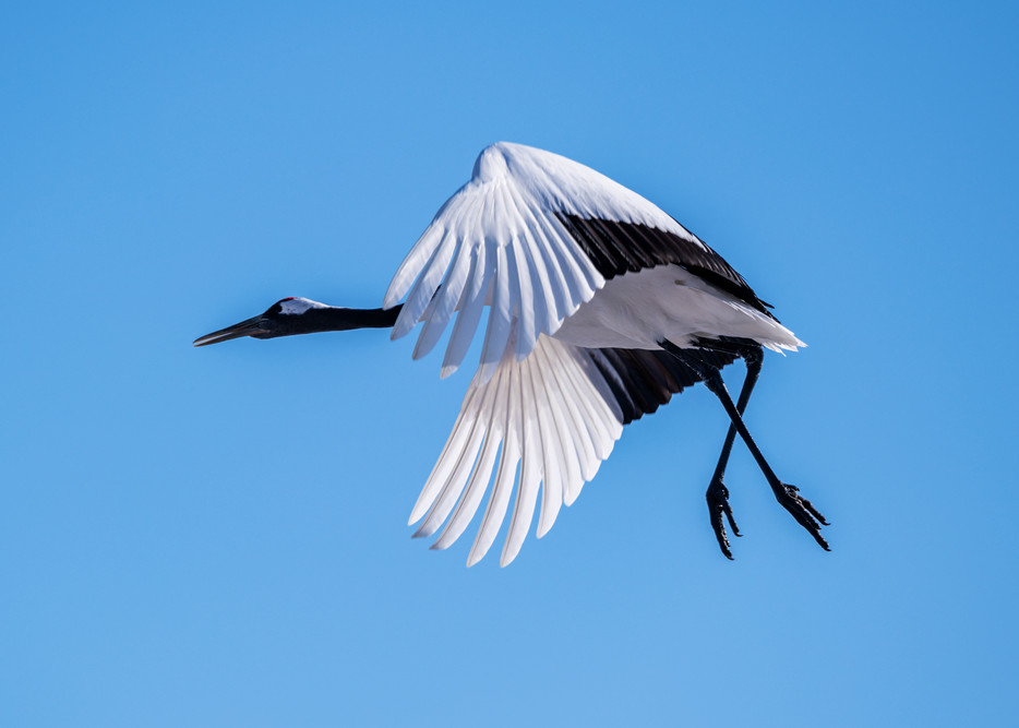 Red-crowned crane descending