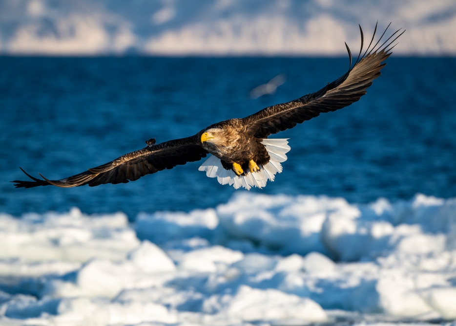 A white tailed eagle flying over drift ice