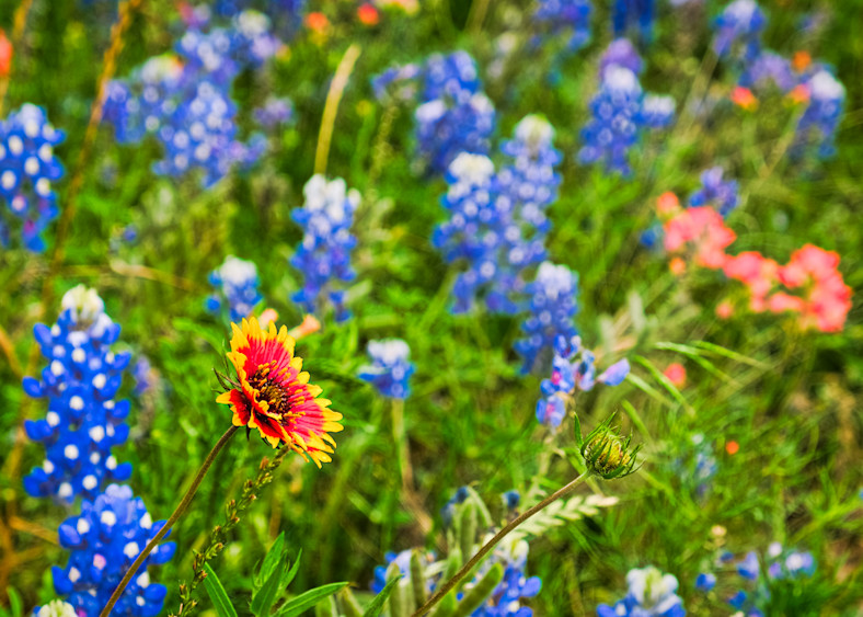 Bluebonnets And Orange Flower Photography Art | Drone Video TX