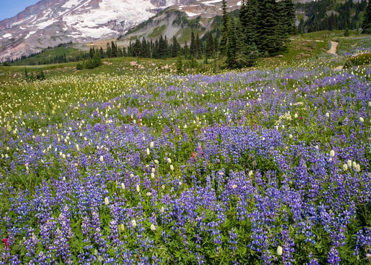 Rainier Lupine Art | The Carmel Gallery