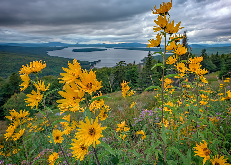 Sunchokes at Height of Land | Shop Photography by Rick Berk