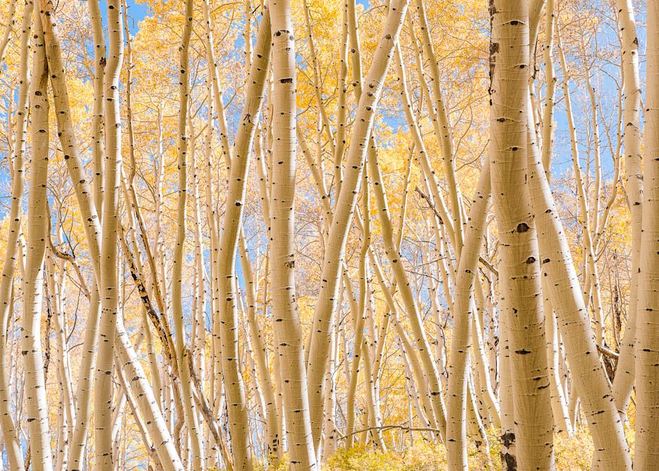 Beautiful Aspen Grove Photography Art   Peter Batty Photography