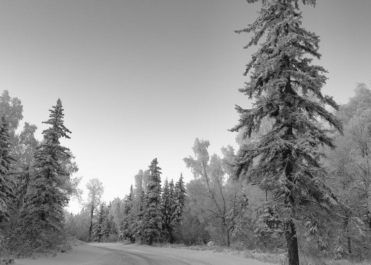 Hoarfrost covered pine tree along snow covered road in Southcentral Alaska. Winter. Morning.