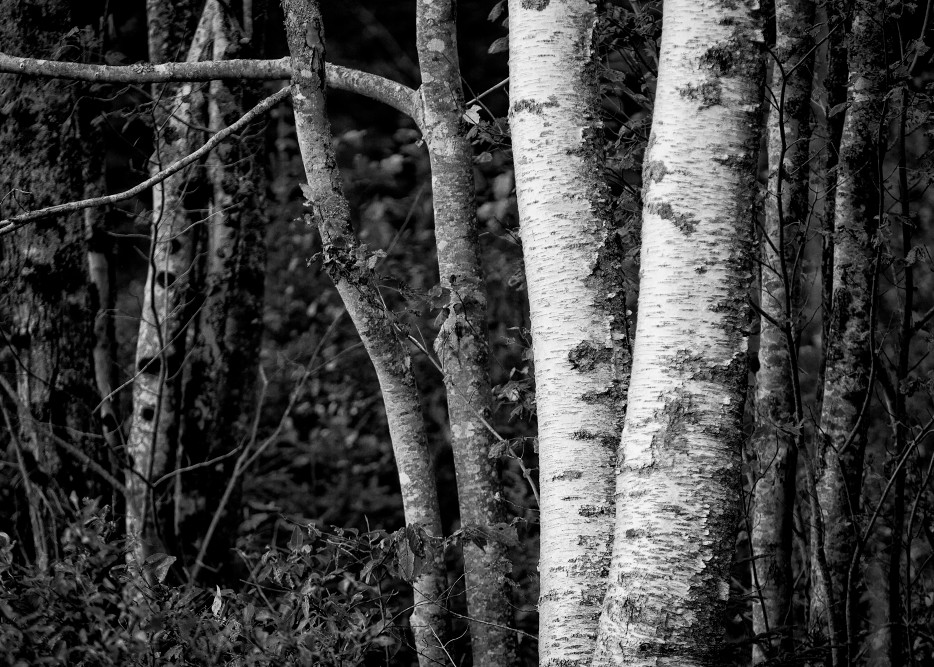 Image of Birch Trees, Maine