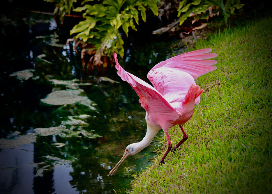 Roseate Spoonbill Photography Art | CJ Harding