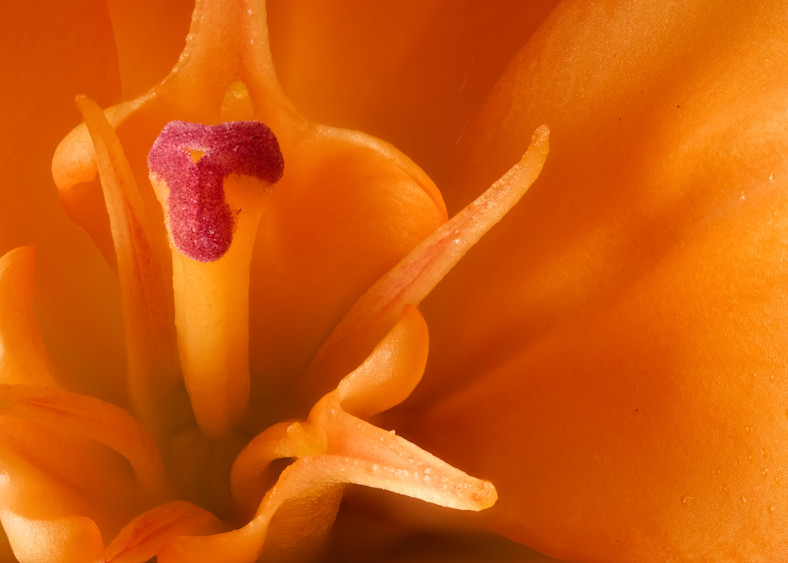 Asiatic Lily Focus 2 Photography Art | Drone Video TX