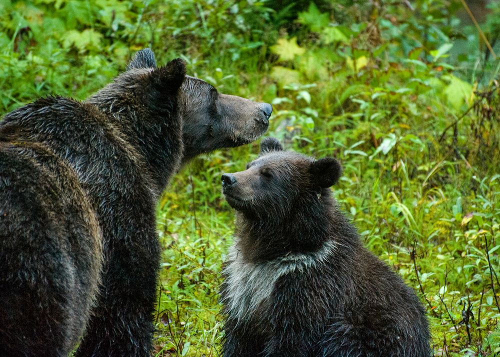 Mom Grizzly Lectures Cub Photography Art | Eric Hatch