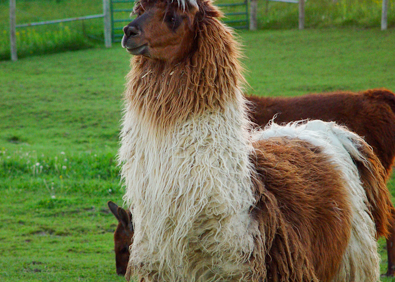 Brown And White Sunset Llama 2 Photography Art | Eric Hatch