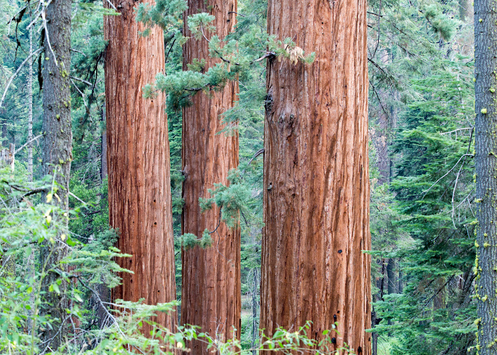 Sequoia Three Photography Art | Brokk Mowrey Photography
