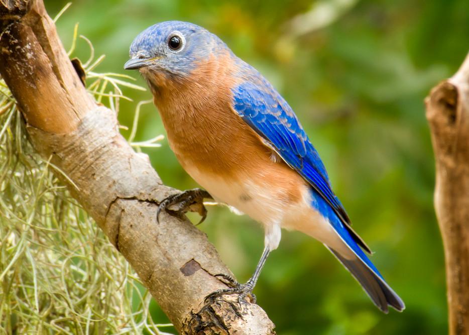 Male Eastern Bluebird on a Branch