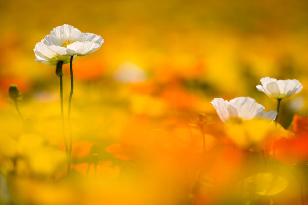 Poppy Heaven