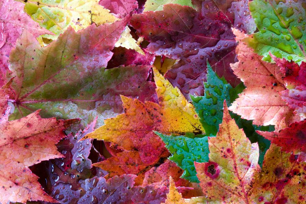 Moods of Maple Leaves