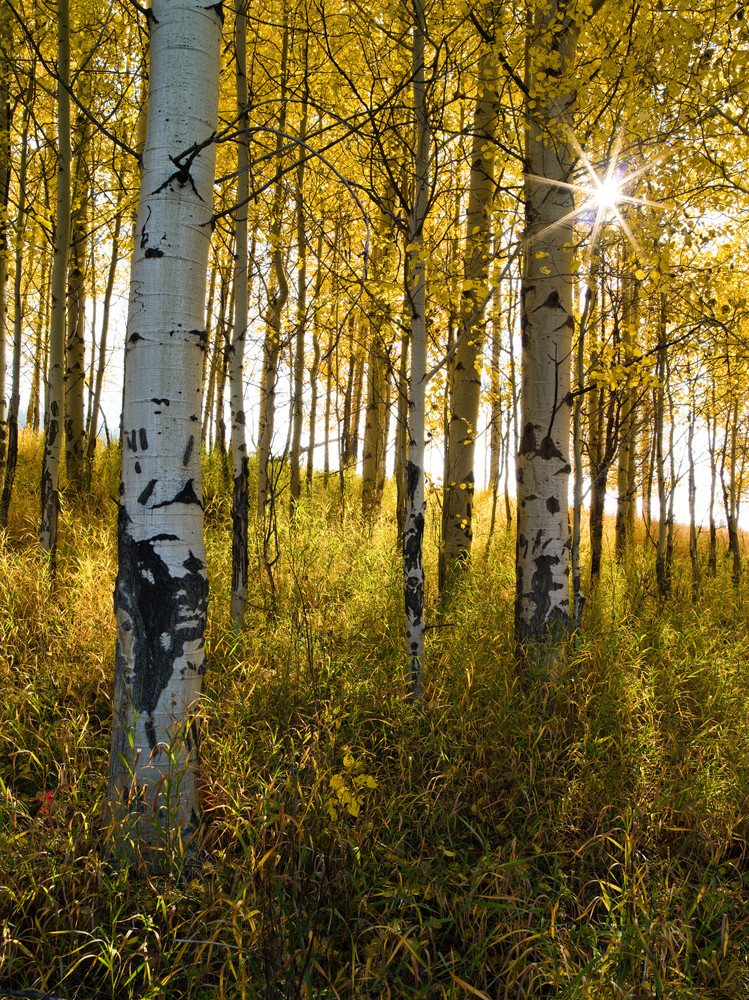 Aspen Aglow in Autumn