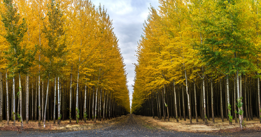 Infinity Poplars in eastern Oregon