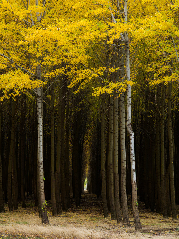 Poplars at the Boardman Tree Farm